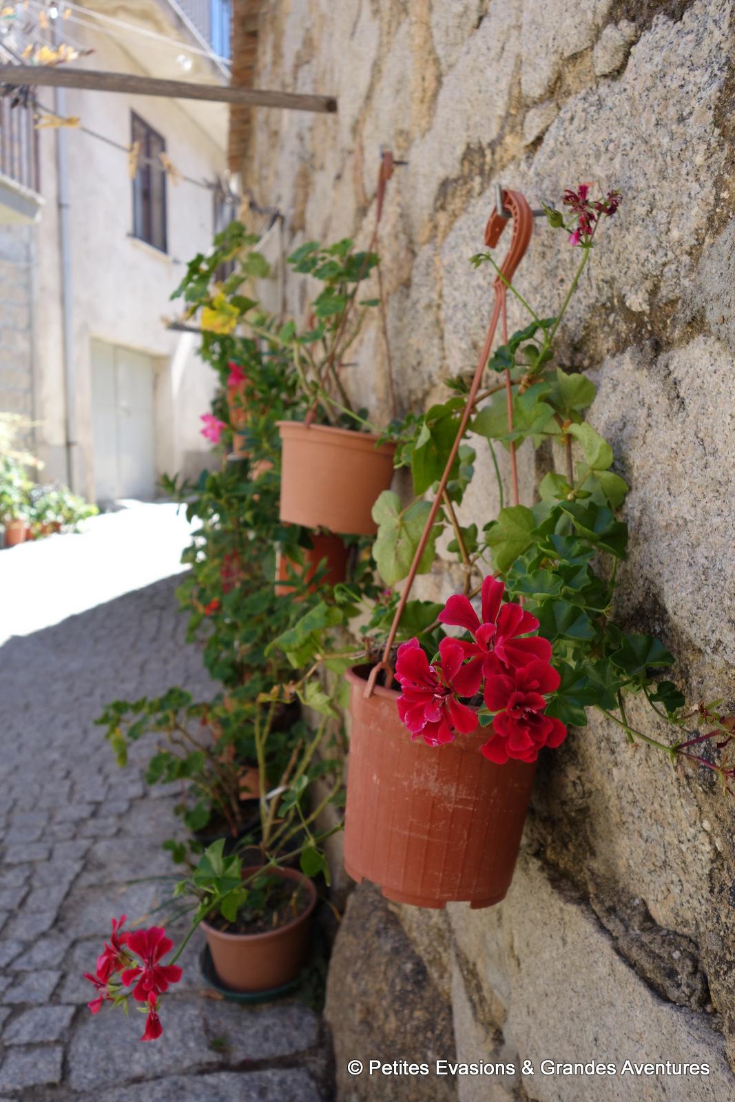 geraniums aggius