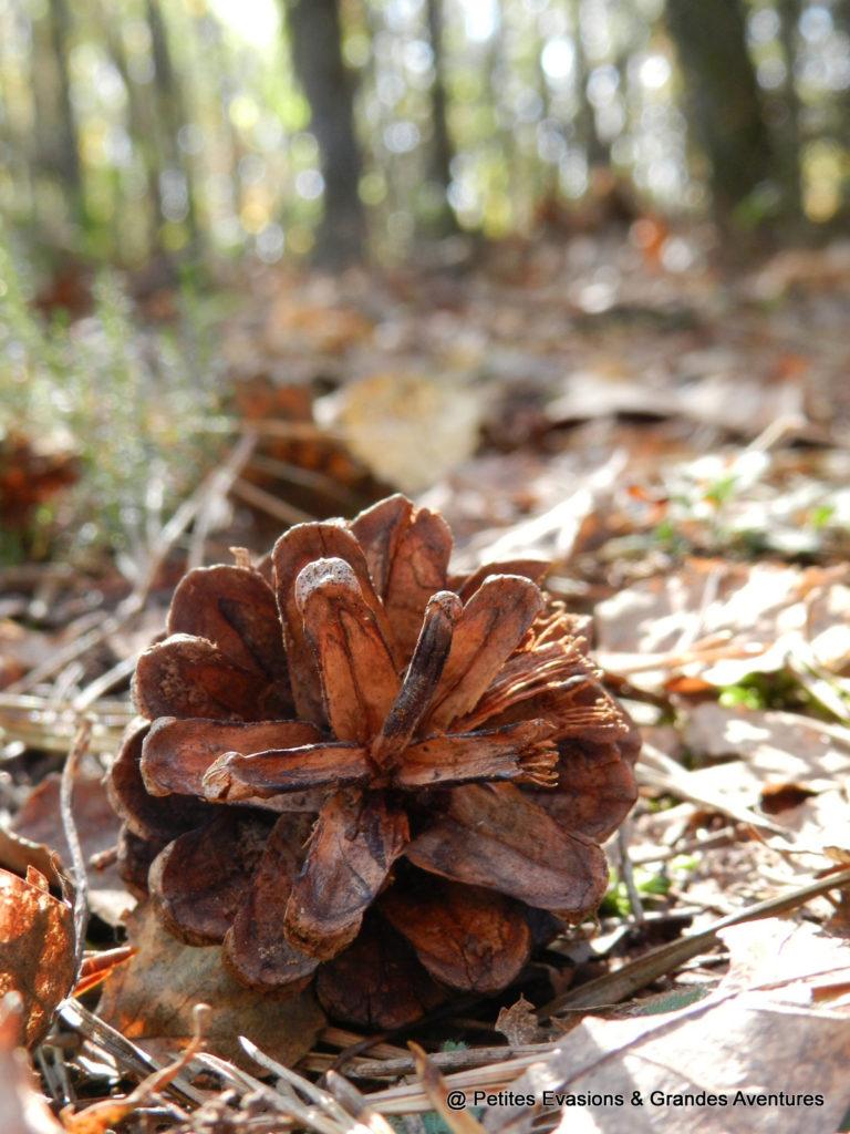Pomme de pin dans les bois