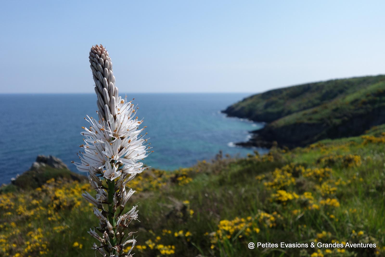 Asphodèle et vue sur Belle-île-en mer