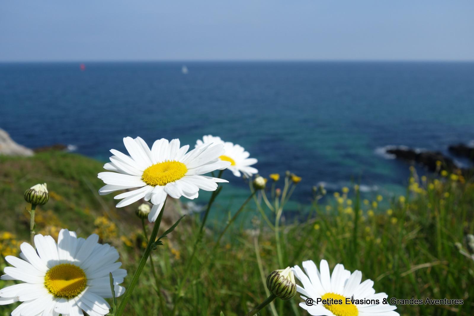 Marguerites Belle-île-en mer