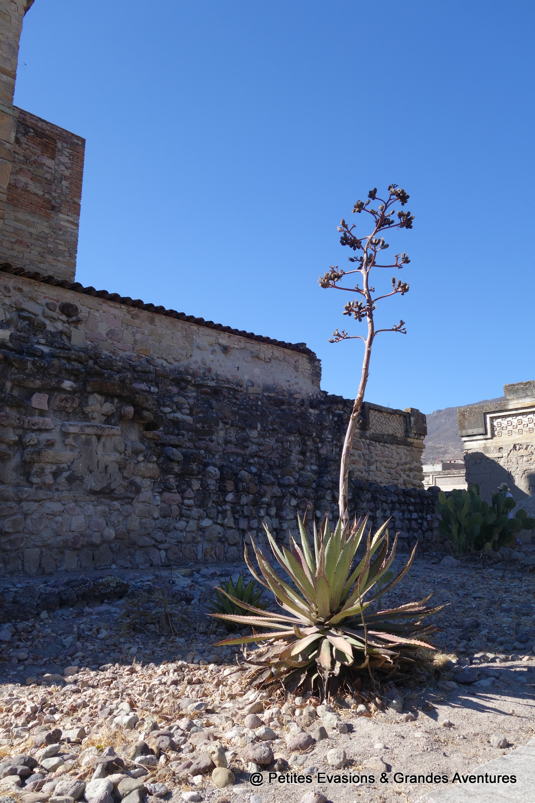 Cactus au pied de l'Eglise de Mitla