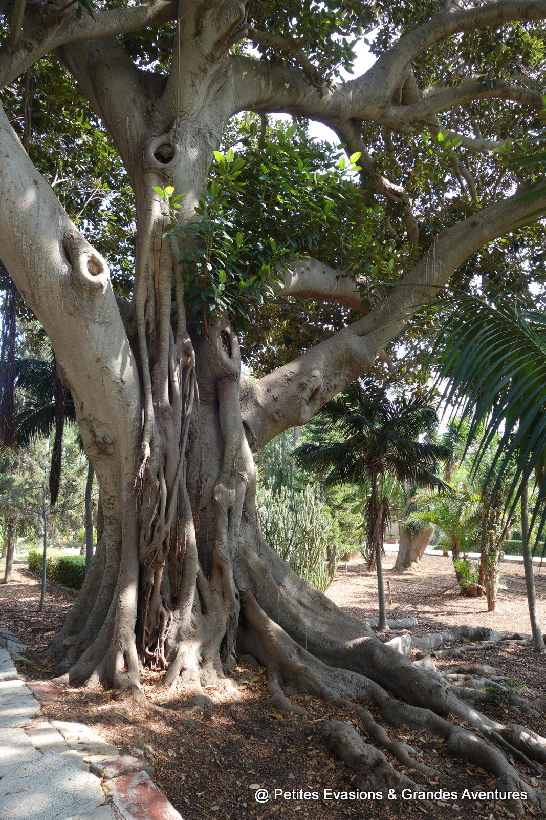 Ficus Magnolia à San Anton Gardens (Malte)