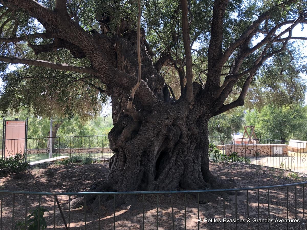 L'olivier millénaire de Santa Maria Navarrese